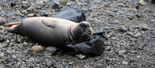 Ponting Bag tested by Elephant seals